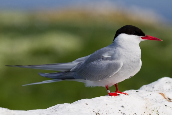 tern-farne-islands-simpologist