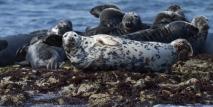 grey-seals-farne-islands-simpologist
