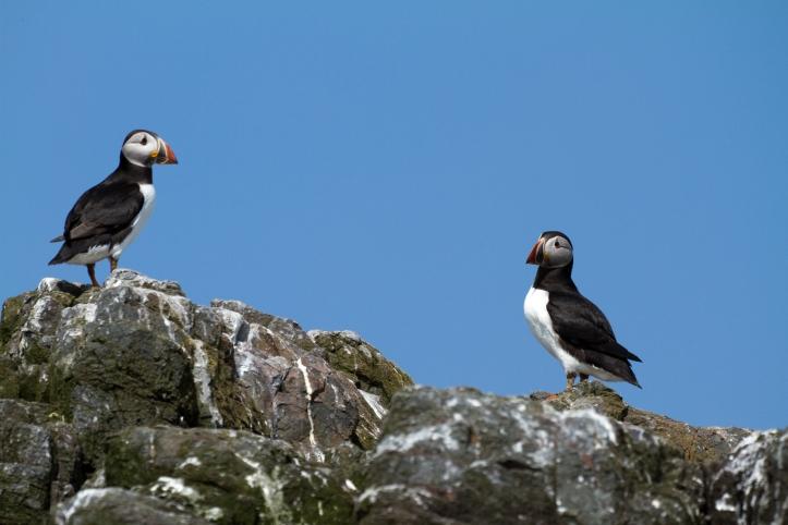 puffins-tern-farne-islands-simpologist