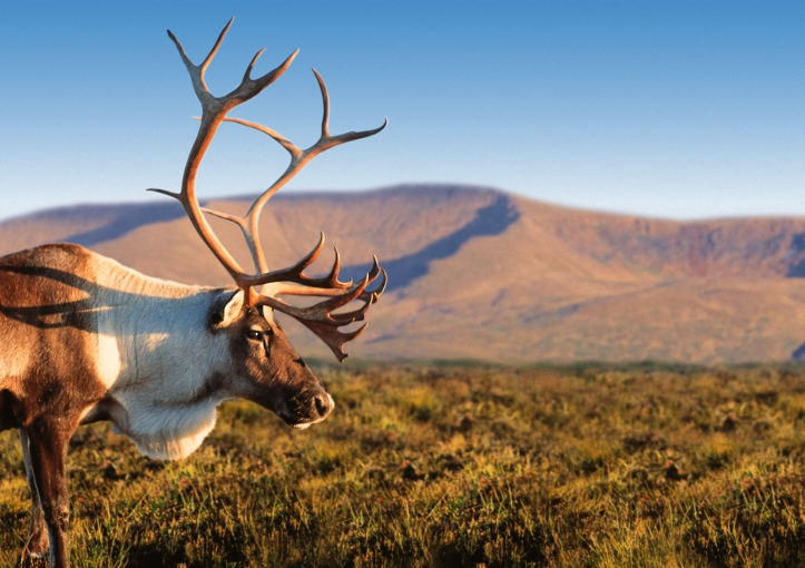 Cairngorm Reindeer. The Cairngorm region is a great place for a staycation. Lots of family fun to do including walking, biking and horse riding.